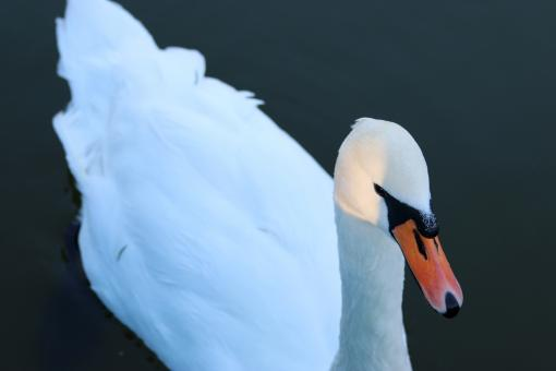 Free Stock Photo of White Duck