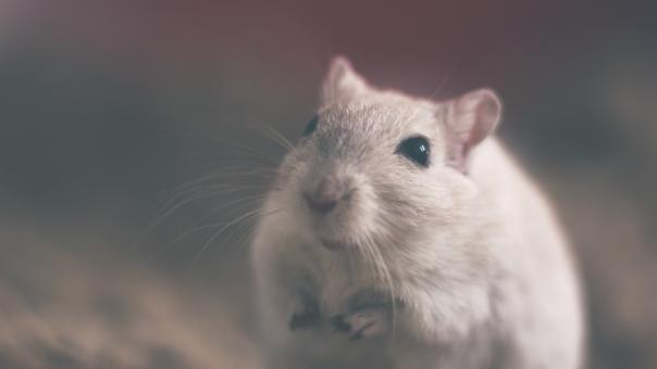 Free Stock Photo of Cute White Mouse