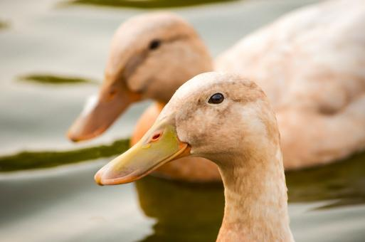 Free Stock Photo of Duck face