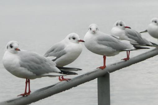 Free Stock Photo of Five Seagulls