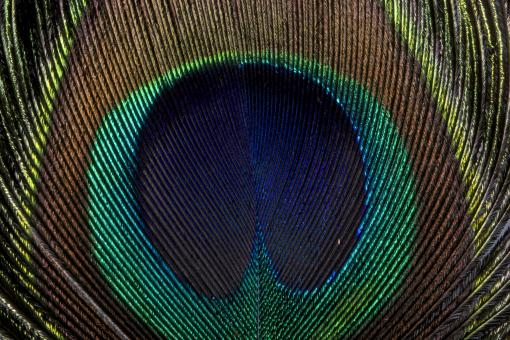 Free Stock Photo of Peacock