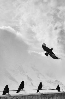 Free Stock Photo of Crows at high Altitude
