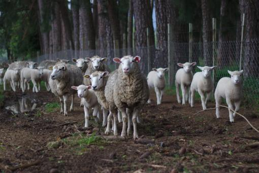 Free Stock Photo of Herd of Sheep
