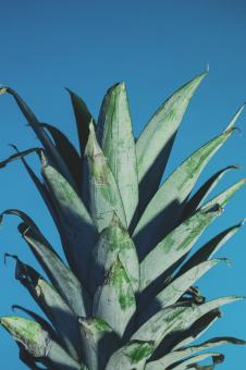 Free Stock Photo of Aloe Vera