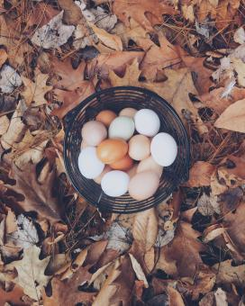 Free Stock Photo of Chicken Eggs