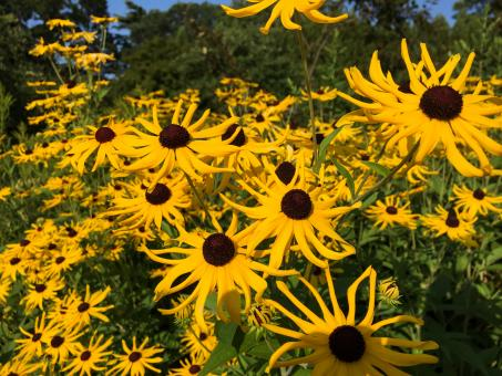 Free Stock Photo of Yellow Sun Flowers