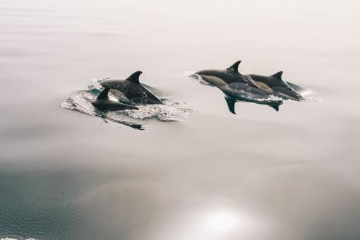 Free Stock Photo of Dolphins at Sea