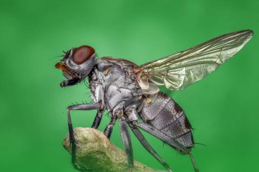 Free Stock Photo of Housefly