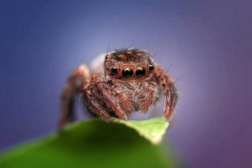 Free Stock Photo of Jumping Spider
