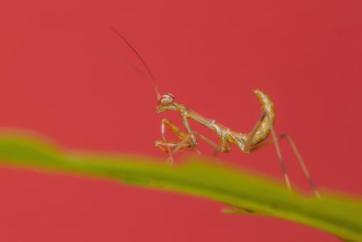 Free Stock Photo of Mantis