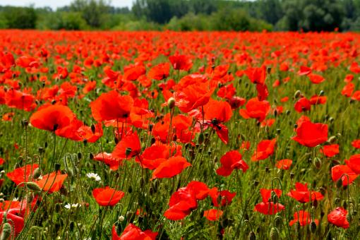 Free Stock Photo of Red Poppies