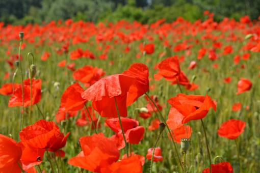 Free Stock Photo of Poppies