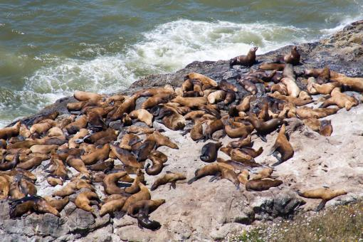 Free Stock Photo of Sea lions