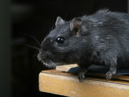 Free Stock Photo of Black Mouse