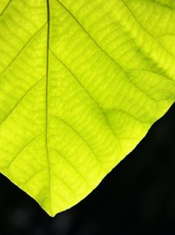 Free Stock Photo of Texture of a green leaf as background