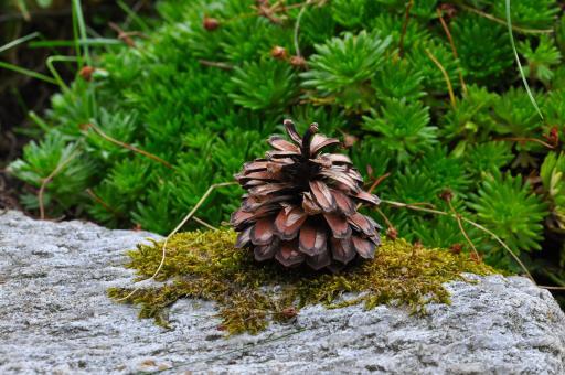 Free Stock Photo of Wild Pinecone