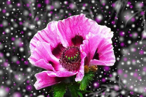 Free Stock Photo of Pink Poppy
