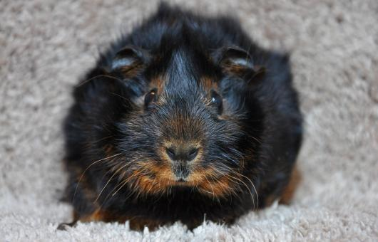 Free Stock Photo of Guinea-pig
