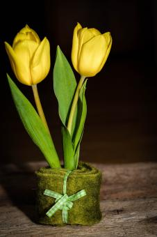 Free Stock Photo of Yellow Tulips