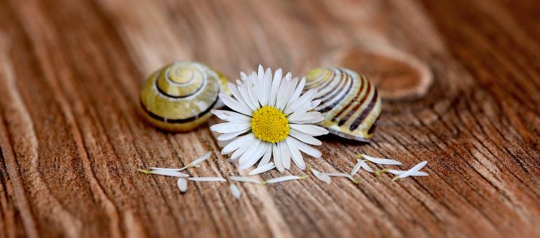 Free Stock Photo of White Daisy and Shells