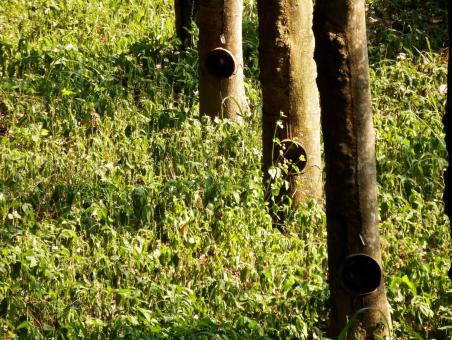 Free Stock Photo of Rubber Plantation