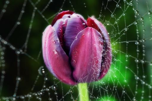 Free Stock Photo of Purple Tulip in Spiderweb