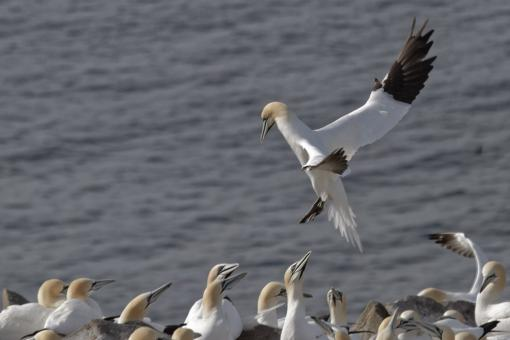 Free Stock Photo of Gannet