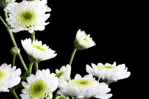 Free Stock Photo of Chrysanthemum