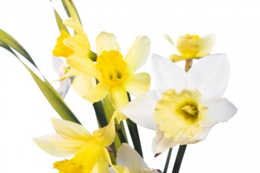 Free Stock Photo of Narcissus