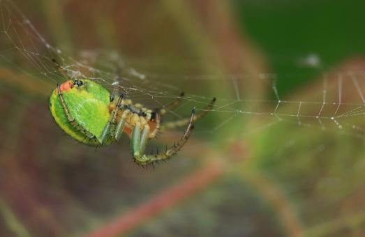 Free Stock Photo of Melon Spider