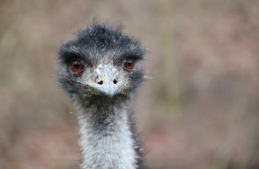 Free Stock Photo of Ostrich