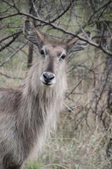 Free Stock Photo of Waterbuck