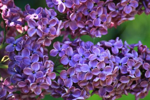 Free Stock Photo of Lilac