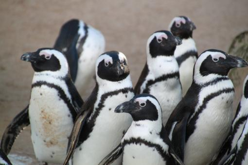Free Stock Photo of Penguins