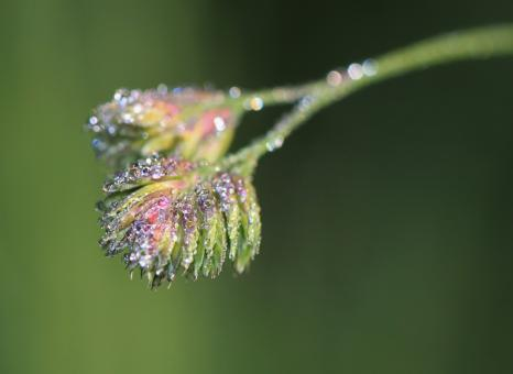 Free Stock Photo of Dewdrops on the Plant