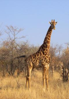 Free Stock Photo of Giraffe in National Park