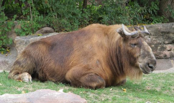 Free Stock Photo of Wild Gnu