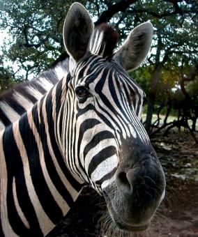 Free Stock Photo of Zebra Closeup