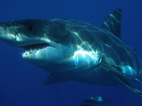 Free Stock Photo of Great White Shark