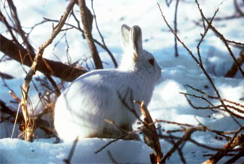Free Stock Photo of Arctic Hare