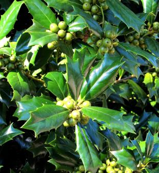 Free Stock Photo of Green Holly