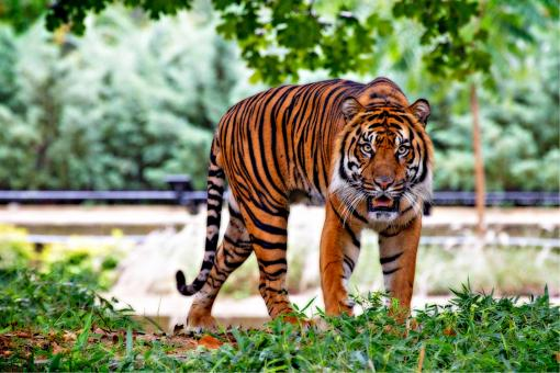 Free Stock Photo of Sumatran Tiger