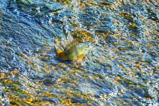 Free Stock Photo of Perch in the rock creek