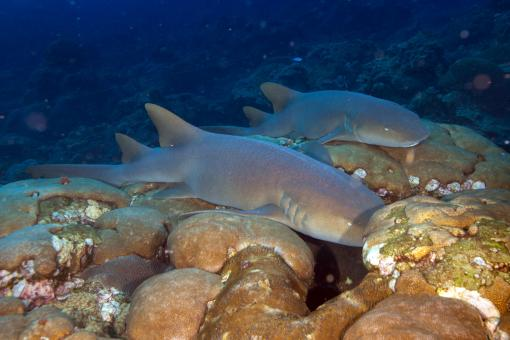 Free Stock Photo of Nurse Sharks