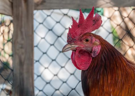 Free Stock Photo of Rooster Closeup