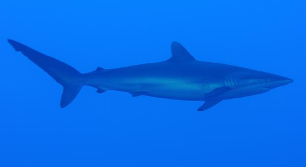 Free Stock Photo of Silky Shark