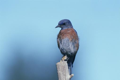 Free Stock Photo of Western Bluebird