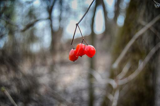 Free Stock Photo of Red berries on the branch