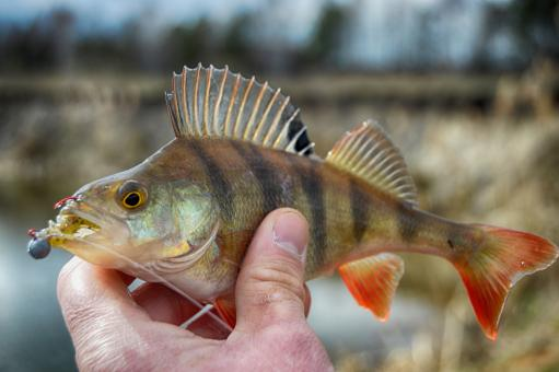 Free Stock Photo of Perch fish in hand