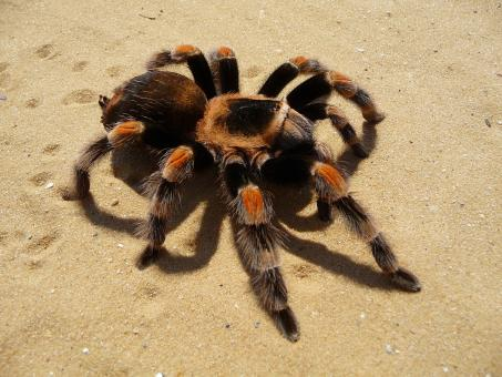 Free Stock Photo of Tarantula Spider